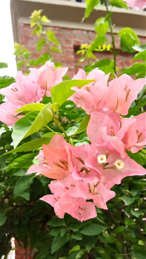 Pappers- blommor Vadodara Gujarat Indien fotografering för bildbyråer