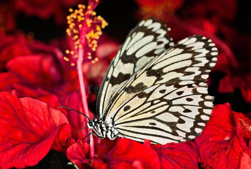 Pappers- drake, svartvit fjäril för rispapper (idéleuconoe) fotografering för bildbyråer
