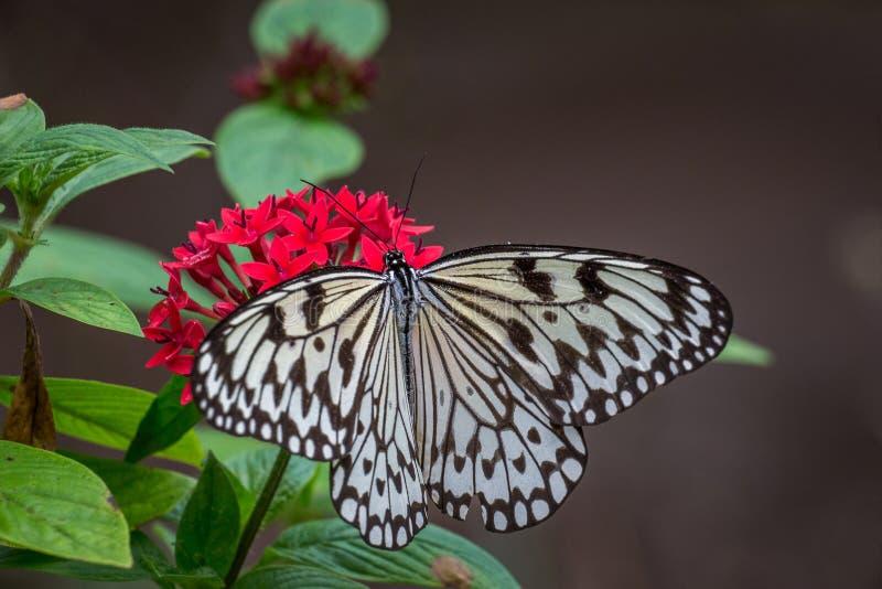 Pappers- drakefjäril på röda blommor royaltyfri fotografi