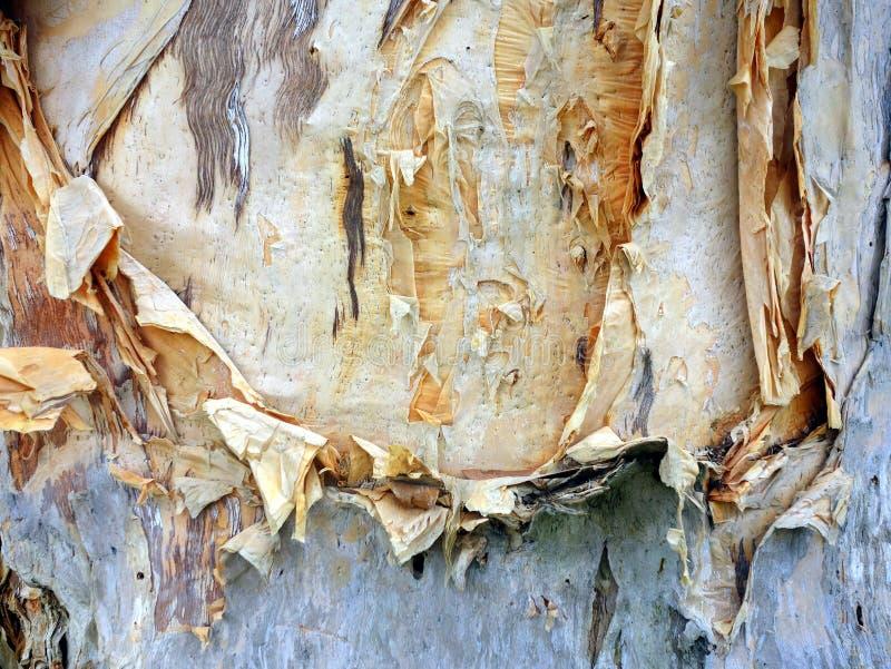 Pappers- skäll, eukalyptusträd royaltyfri bild