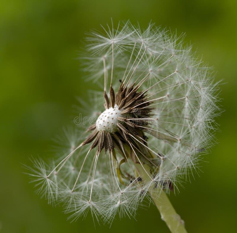 Pappus Taraxacum Dandelion seedhead kwiat w ostrości obraz royalty free