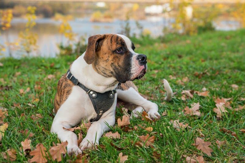 Pappy der amerikanischen Bulldogge lizenzfreie stockfotos