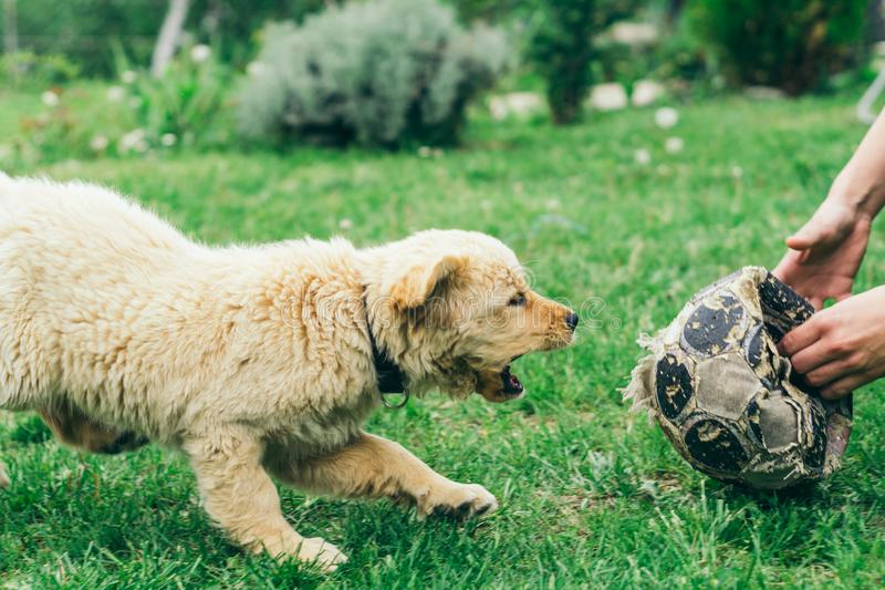Pappy, Golden Retriever plays in the yard stock images