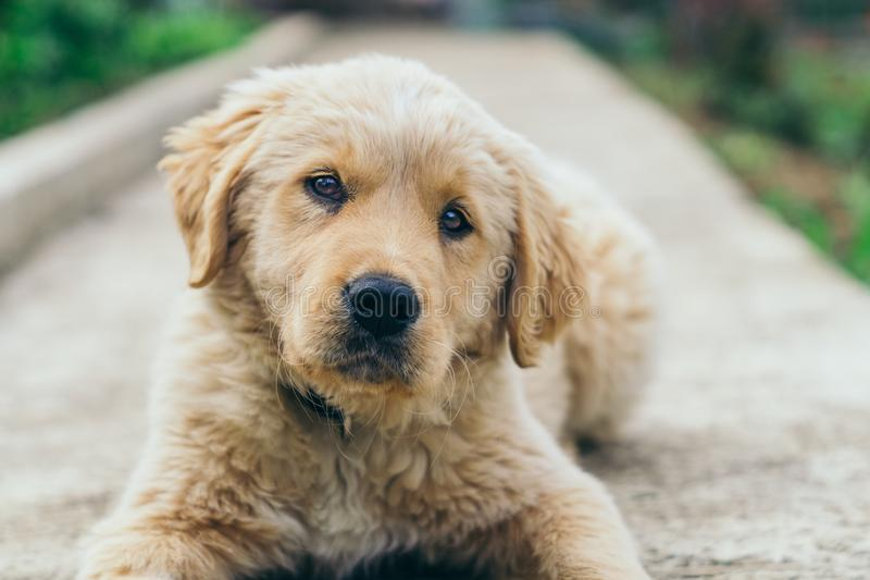 Pappy, Golden Retriever posing on the path stock images