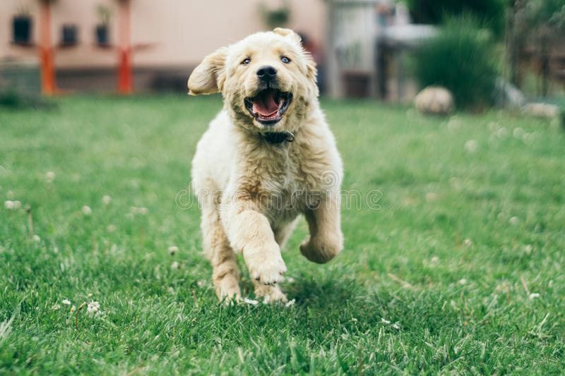 Pappy, Golden Retriever running in the yard stock images