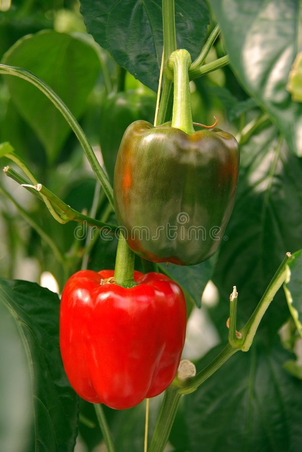 Paprika. Plants in a greenhouse royalty free stock image