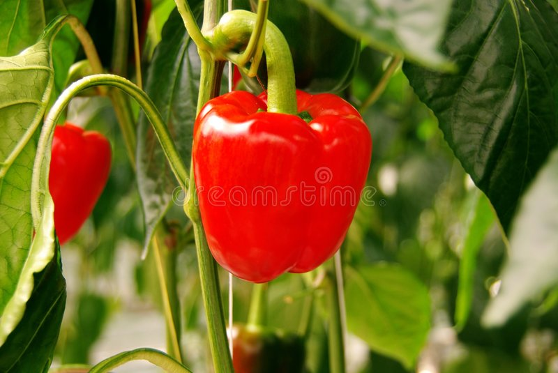 Paprika. Plants in a greenhouse royalty free stock images
