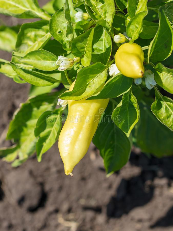 Paprika on a bush in the garden royalty free stock images