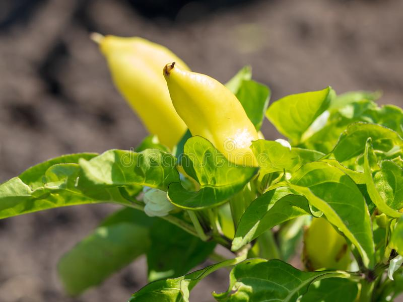 Paprika on a bush in the garden stock photography