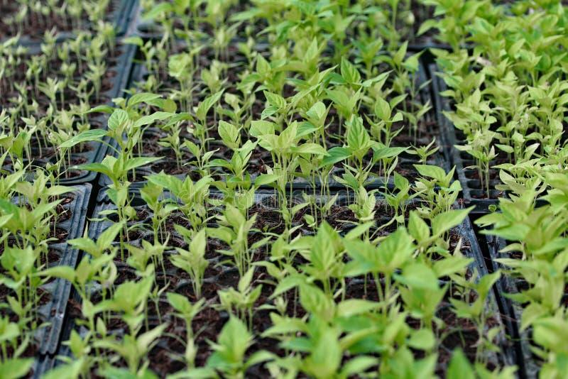 Paprika för omvändväxtplantor arkivbild