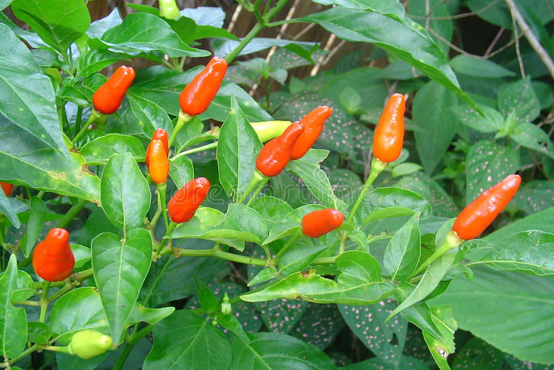Paprika-Früchte Lizenzfreies Stockfoto