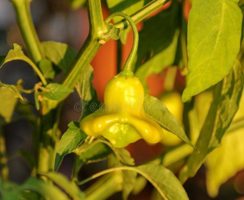 Paprika fruit on a plant in the garden royalty free stock images