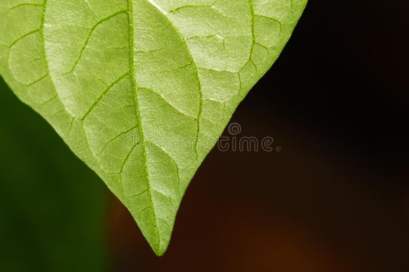 Paprika plant leaf macro. sweet pepper growth. organic growing royalty free stock image