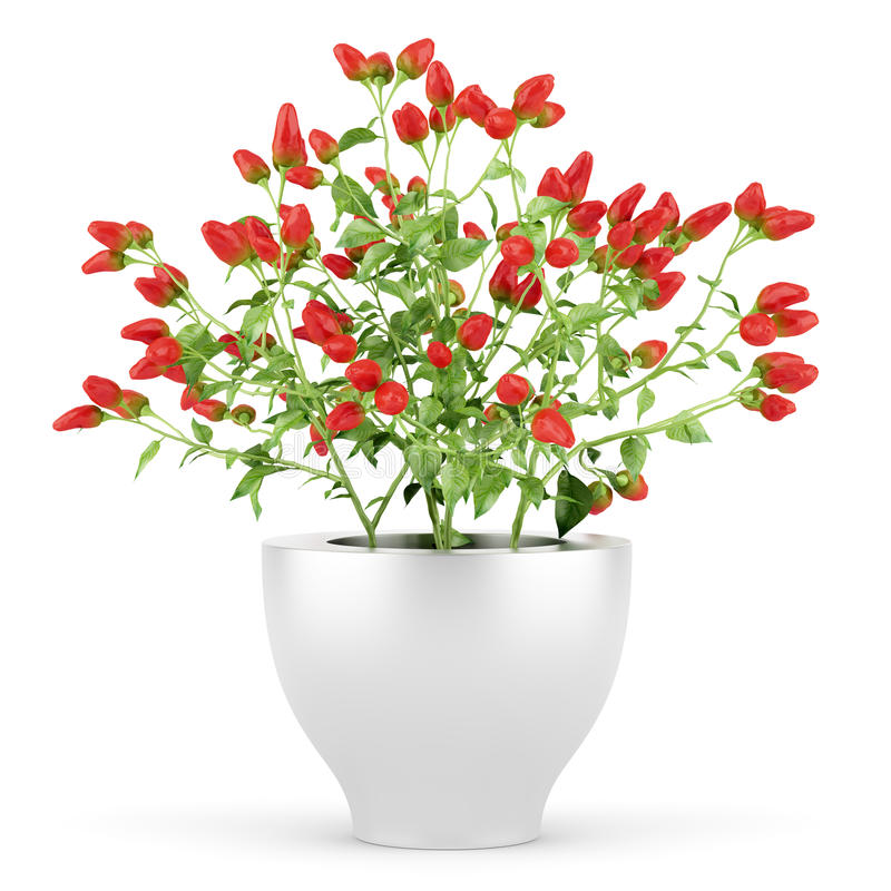 Download Paprika Plant In Pot Isolated On White Stock Illustration - Image: 25424967