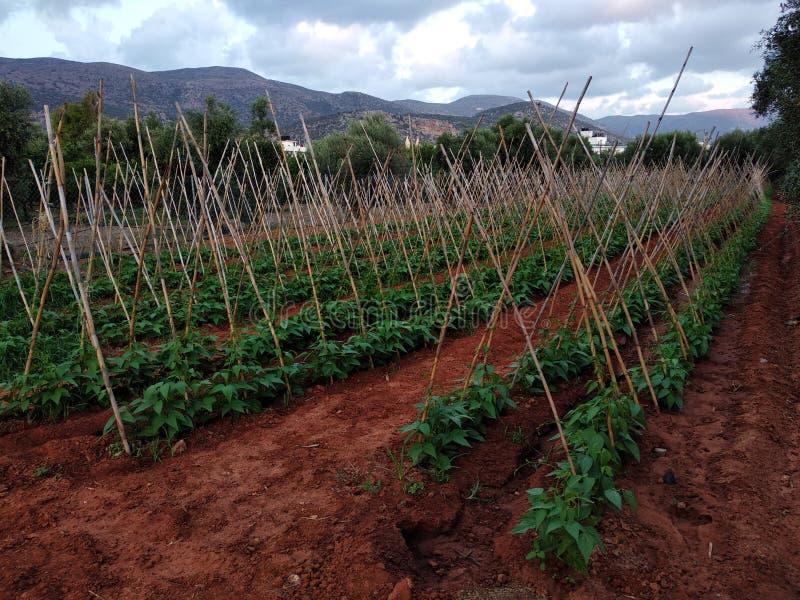Paprika plantation. On Crete, Greece stock photo