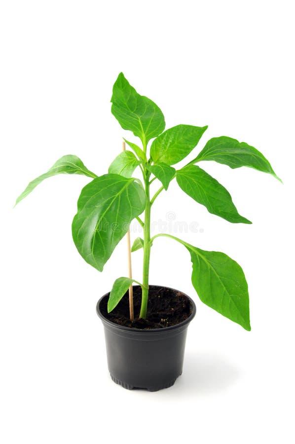 Paprika seedling on flowerpot on isolated background.  royalty free stock photo