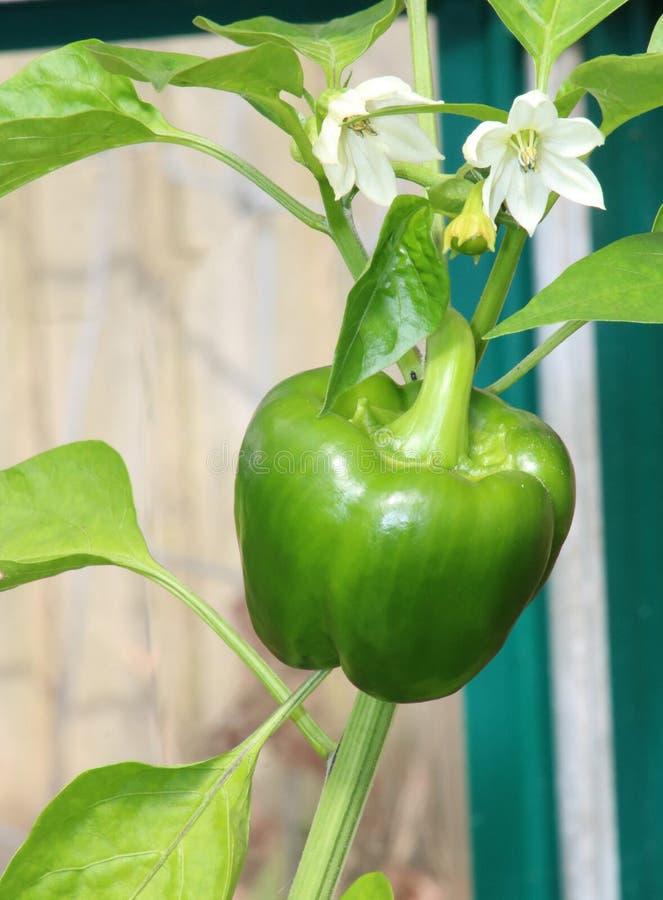 Paprika y flor verdes en la planta foto de archivo