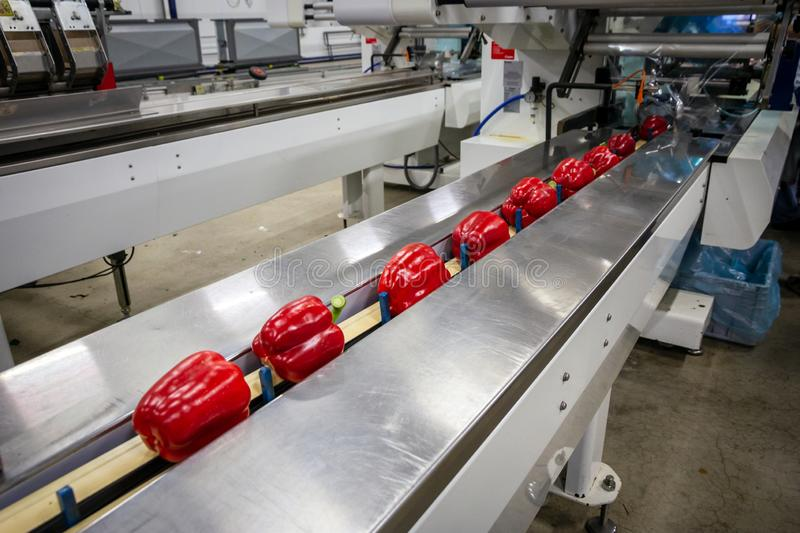 Paprikas on an industrial conveyor belt stock photography