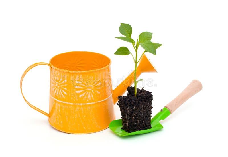 Paprikaväxt och arbeta i trädgårdenhjälpmedel royaltyfria foton