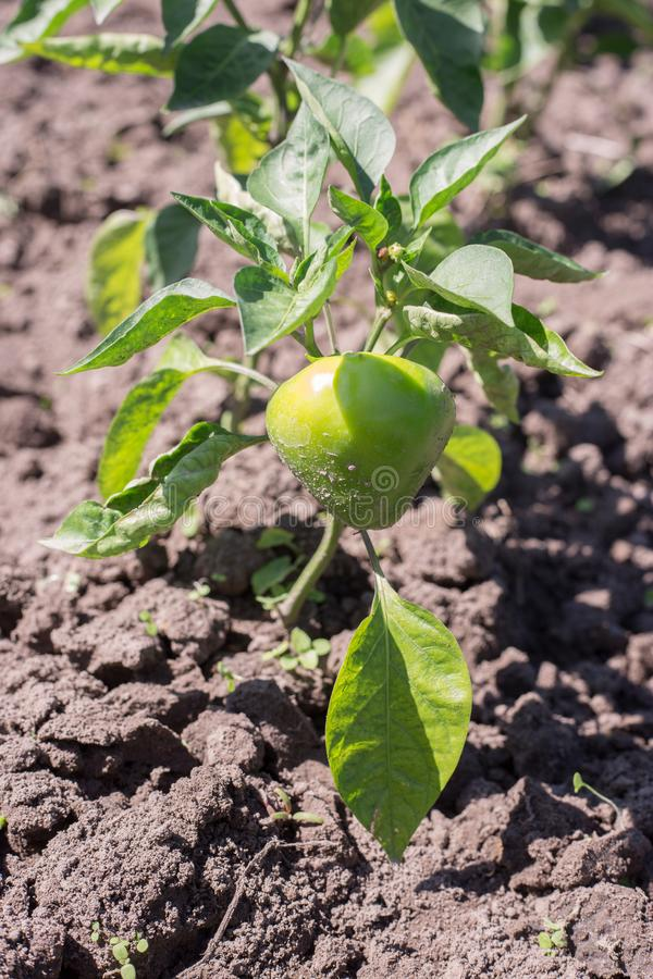 Paprikor som växer i trädgård royaltyfria foton