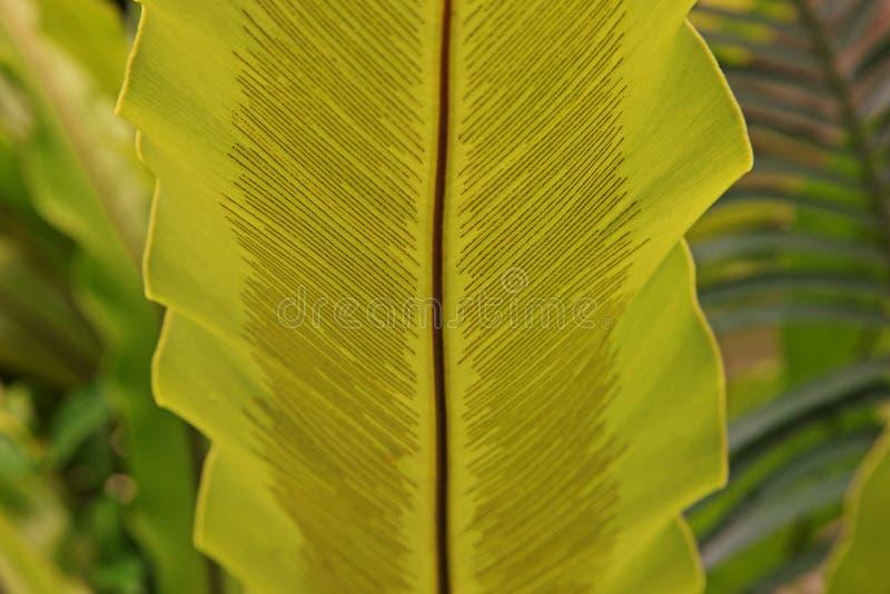 Paproć liść z zarodnikami fotografia royalty free