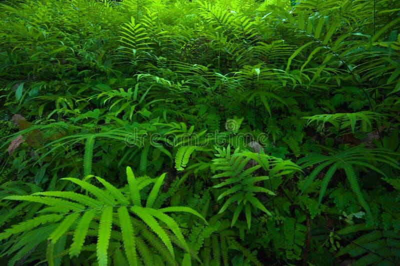 Paproć liści zielonego ulistnienia tropikalny tło. Las tropikalny obraz royalty free