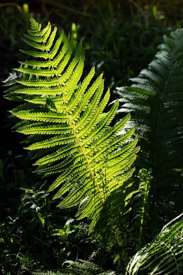 Paproć liście pod światłem słonecznym w drewnach fotografia royalty free