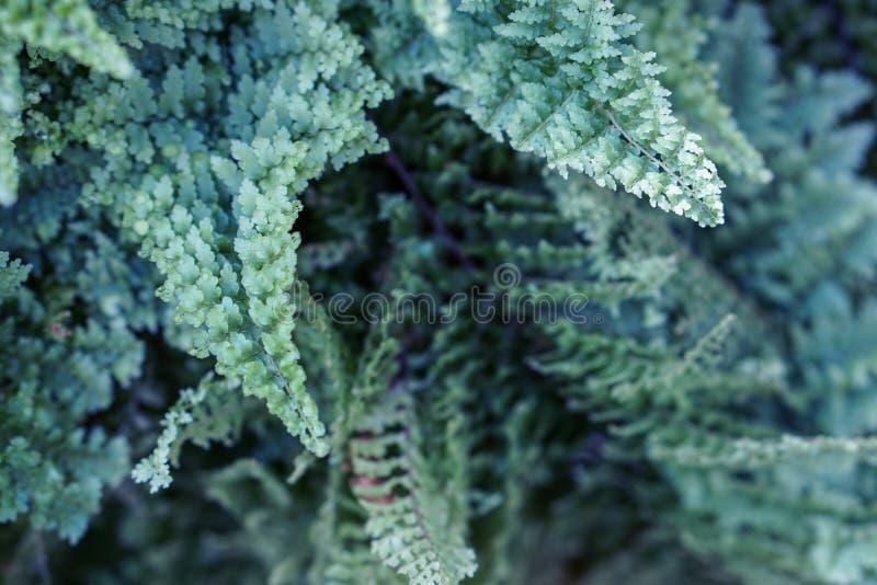 Paproć opuszcza błękitnej zieleni ulistnienie t?a naturalny kwiecisty fotografia royalty free