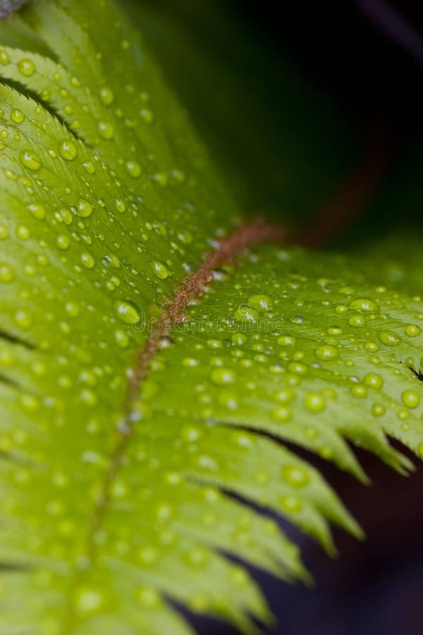 Paproć z dewdrops, abstrakcjonistyczna natura fotografia stock