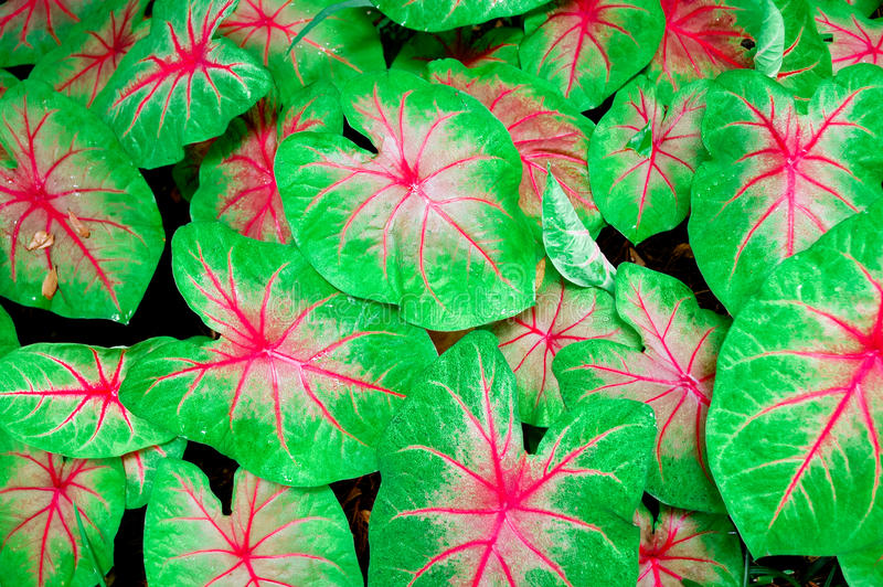 paproci zieleni menchie fotografia stock