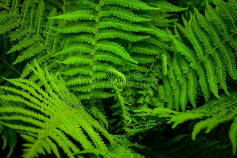 Paproci zielony ulistnienie zdjęcia royalty free