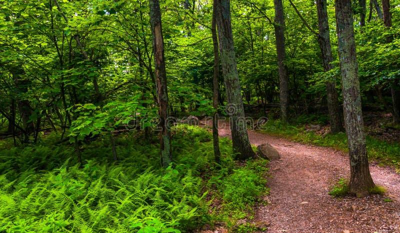 Paprocie i drzewa na śladzie w Shenandoah parku narodowym zdjęcie stock