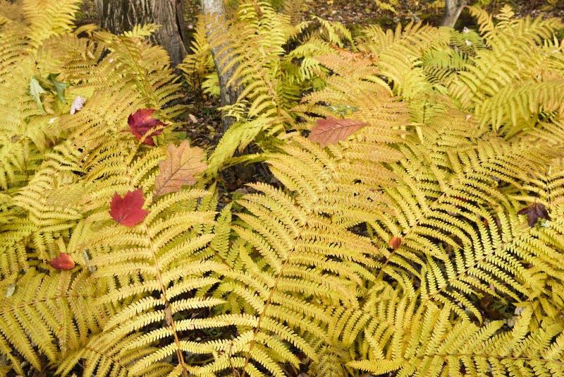 Paprocie w jesieni świetności fotografia stock