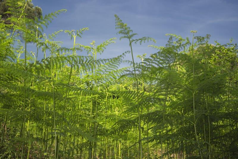 Paprocie w pinewood lasowym pobliskim Marina Romea obraz royalty free