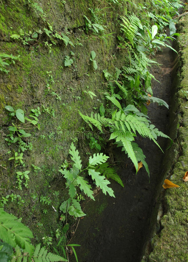 paprocie zielenieją starą ścianę zdjęcie royalty free