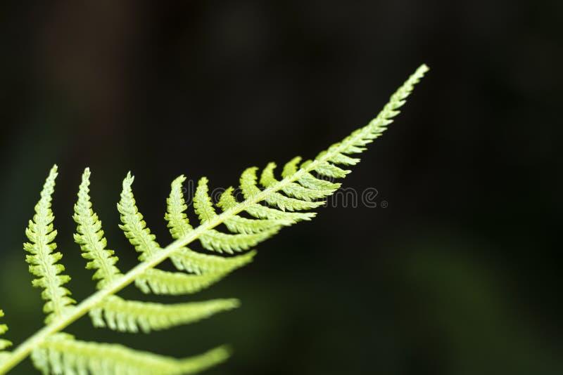 Paprociowa liść porada zamknięta w górę, płytka głębia pole fotografia royalty free