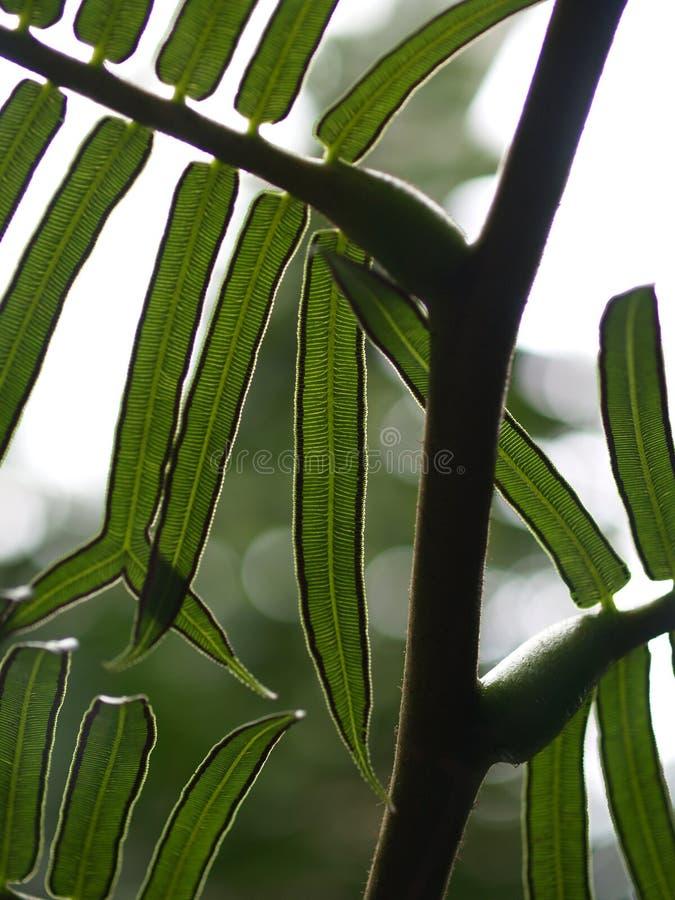 paprociowi liście obraz stock