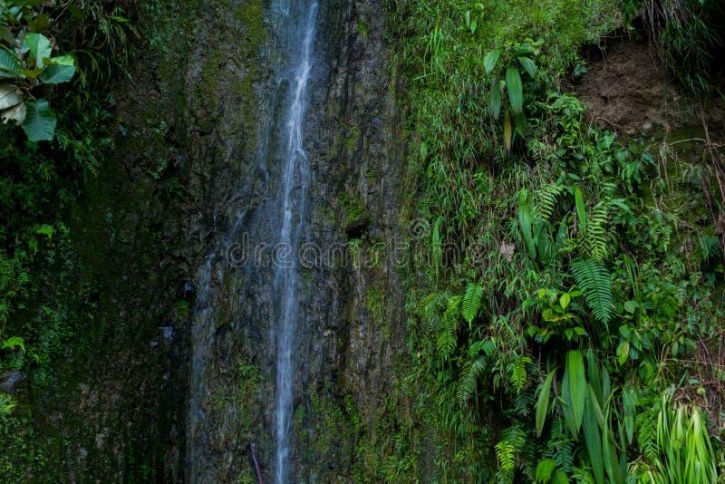 Paprociowy drzewny Cyathea podophylla w lesie Samosir wyspa, Medan, Indonezja zdjęcia stock