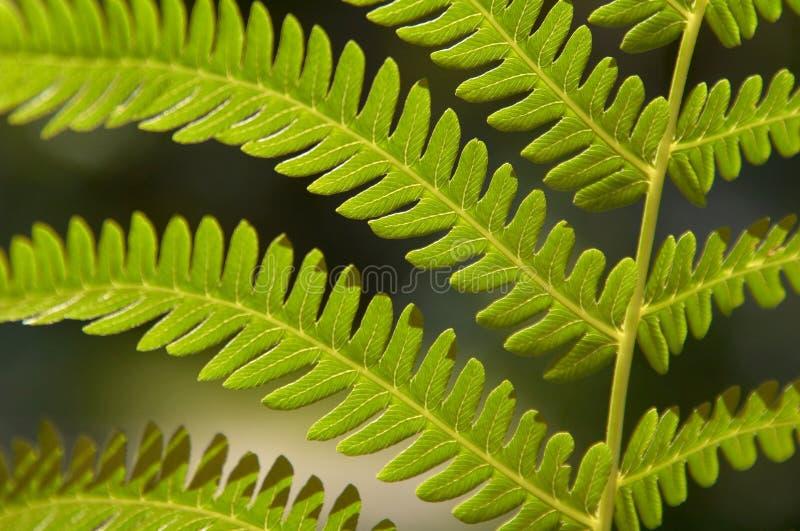 Paprociowy frond zdjęcie stock