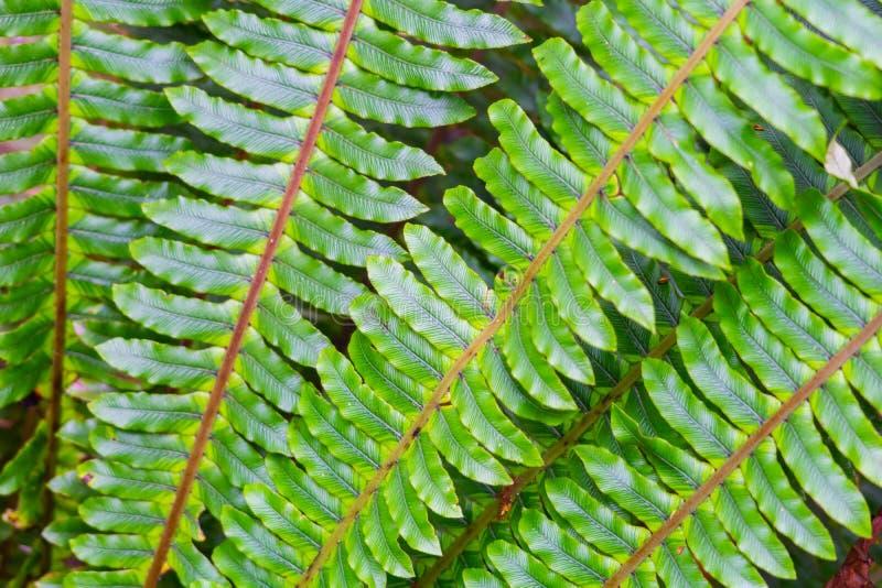 Paprociowy frond w górę zieleni w fan kształcie fotografia royalty free