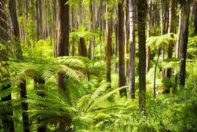 Paprociowy las zdjęcia royalty free