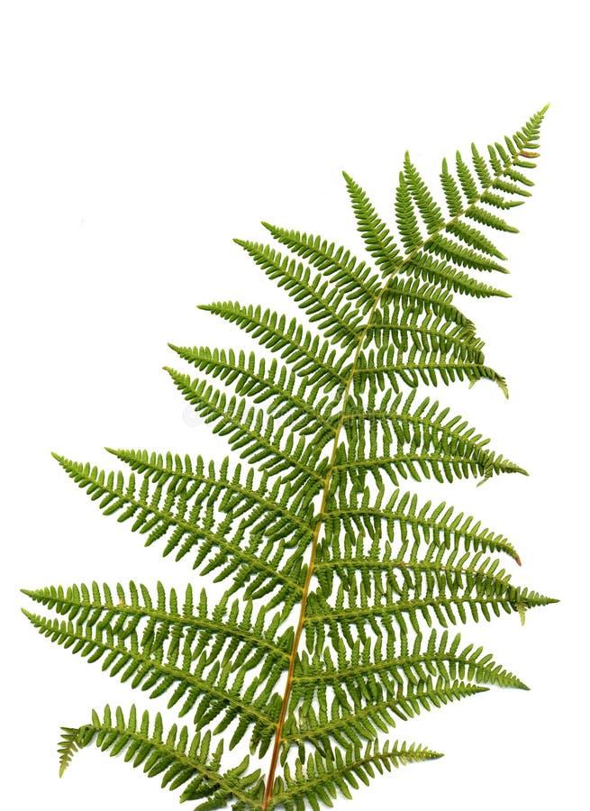 paprociowy liść zdjęcie stock
