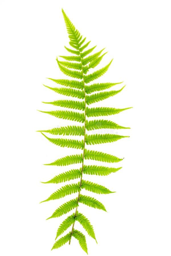 Paprociowy liść fotografia stock