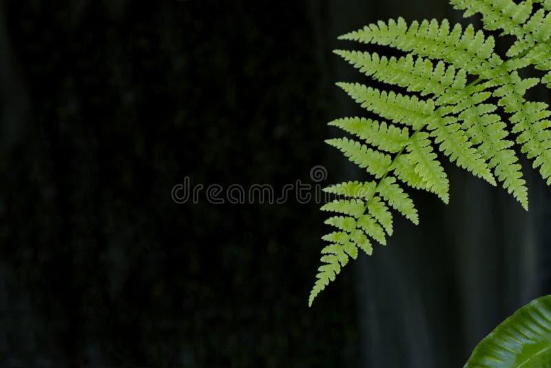 Paprociowy liść przeciw ciemnemu tłu w japończyka ogródzie na Vancouve zdjęcia royalty free
