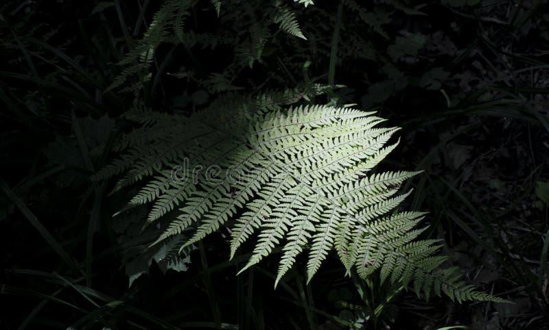 Paprociowy liść w cieniu chującym obraz stock