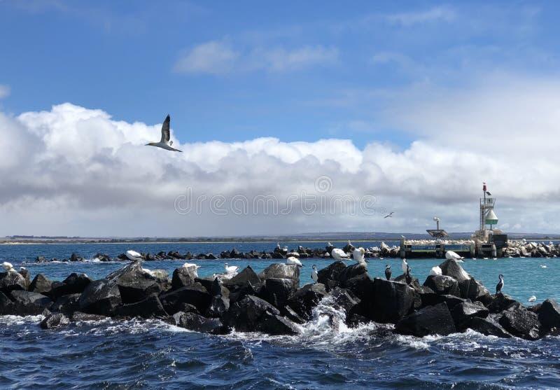 Papstaugenhafen Phillip-Buchtvögel lizenzfreie stockfotografie