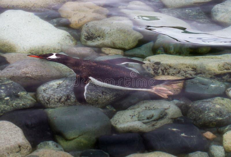 Papua för gentoopingvinpygoscelisen som simma är undervattens- som den, att närma sig kusten, Antarktis royaltyfria bilder