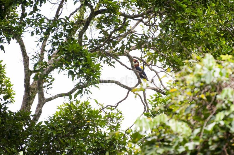 Papuan犀鸟在Manusela国家公园,印度尼西亚 免版税库存照片