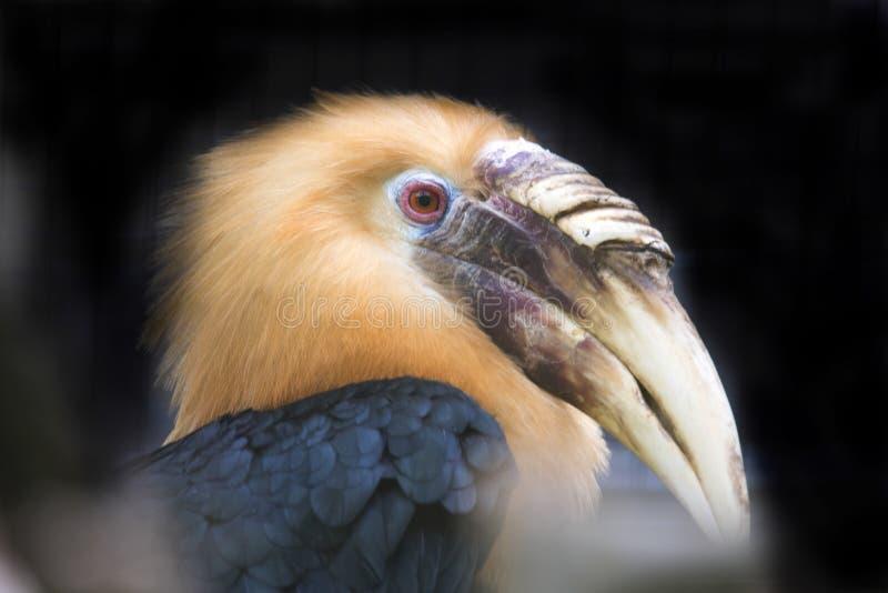 Papuan犀鸟, Aceros plicatus,有大额嘴 免版税库存照片