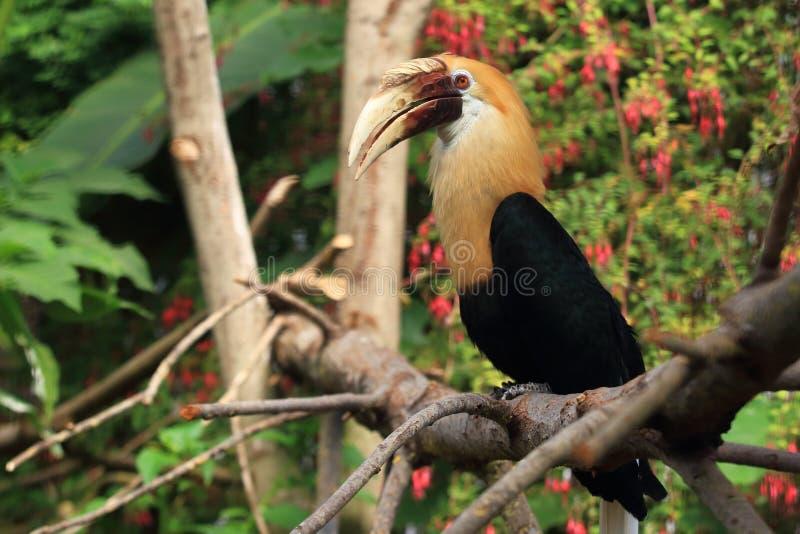Papuan犀鸟 库存图片